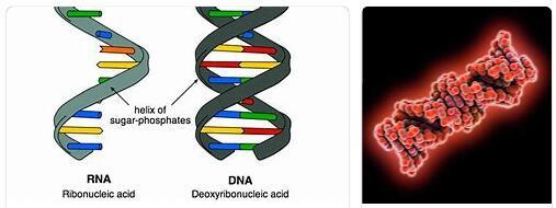 Ribonucleic Acid